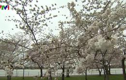Người dân Mỹ có thể tham quan Lễ hội hoa anh đào qua Internet