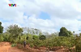 Đăk Lăk: Nhiều diện tích cây trồng thiếu nước