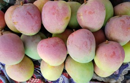 Thủ phủ xoài Úc Cam Lâm đã xuất khẩu trở lại