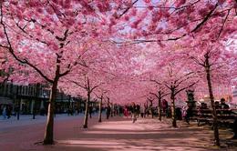 Nhật Bản hủy Lễ hội Hoa anh đào vì COVID-19