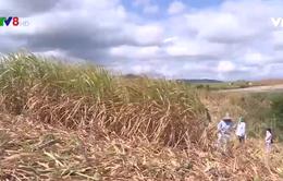 Hỗ trợ nông dân trồng mía vượt qua khó khăn do nắng hạn