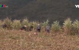 Năng suất mía Phú Yên giảm 60% do nắng hạn