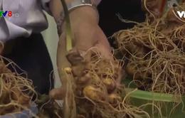 Hội chợ sâm Ngọc Linh, Quảng Nam thu về hơn 6 tỷ đồng