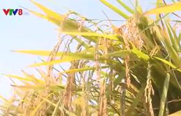 Nam Trung bộ: Lúa Đông Xuân được mùa được giá