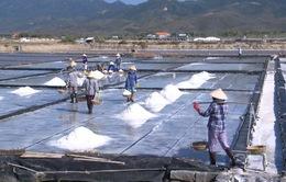 Bạc Liêu: Muối được mùa, được giá