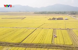 Tái cơ cấu ngành nông nghiệp - Nhìn từ cánh đồng lớn