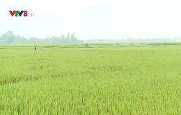 Hà Tĩnh ngăn chặn dich bệnh trên lúa Đông Xuân