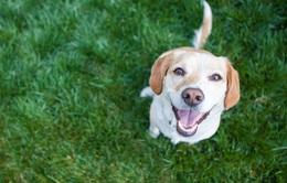 Huấn luyện chó phát hiện bệnh COVID-19