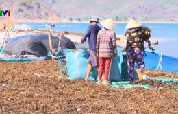 Khánh Hòa: Báo động tình trạng ồ ạt khai thác rong biển