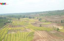 Hàng nghìn hecta cây trồng tại Gia Lai bị khô hạn do hạn hán