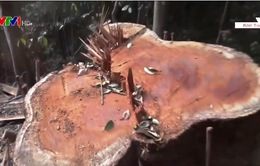 """Sau phóng sự của VTV, đề nghị xử lý nghiêm tình trạng """"xẻ thịt"""" rừng ở Kon Tum"""