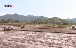Nông dân khẩn trương thu hoạch lúa