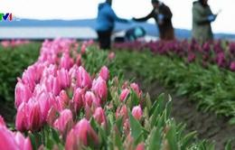 Nông dân trồng hoa tulip ở Mỹ thất thu vì COVID-19