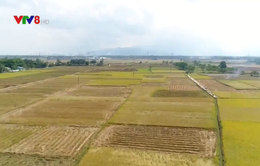 Nông dân Quảng Nam bước vào thu hoạch vụ đông xuân