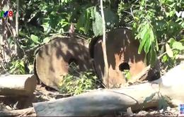 Phú Yên: Phát hiện thêm 35 mét khối gỗ chưa đưa ra khỏi rừng