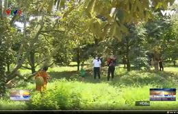 Thăm vườn sầu riêng hữu cơ 20 năm tuổi