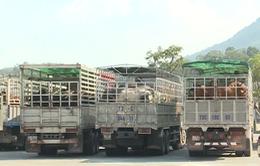 Cửa khẩu Cha Lo: Kiểm dịch trâu, bò nhập khẩu qua loa, tiềm ẩn nguy cơ dịch bệnh
