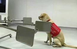 Huấn luyện chó phát hiện người nhiễm COVID-19