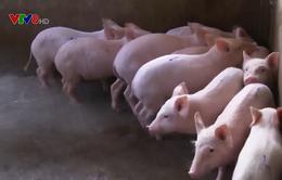 Quảng Ngãi: Giá heo tăng, người chăn nuôi vẫn khó tái đàn