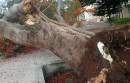 Thêm một cây phượng bật gốc ngã đổ ở trường học ngay trước giờ vào lớp