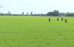 ĐBSCL tăng diện tích sản xuất lúa vụ Thu Đông