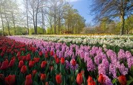 """""""Vườn hoa mùa xuân đẹp nhất thế giới"""" nở rộ nhưng không có khách tham quan"""