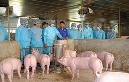 16 tỉnh, thành phố vẫn còn dịch tả lợn châu Phi