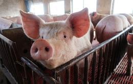 Trung Quốc chạy đua xây dựng nông trại nuôi lợn tại các thành phố lớn