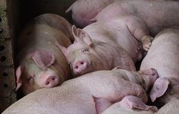 """""""Giá lợn cần về ngưỡng 75.000 - 80.000 đồng/kg"""""""