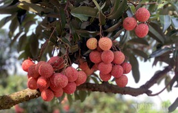 Bí mật đằng sau quả vải đắt đỏ nhất Việt Nam
