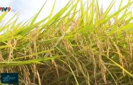 Xuất khẩu gạo - giá cao nhưng thiếu bền vững