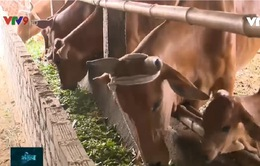 """""""Món ngon"""" cứu đàn gia súc giữa nắng hạn"""