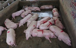 Thịt lợn hơi vẫn ở mức cao, hơn 90.000 đồng/kg