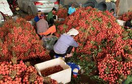 Vượt khó mùa COVID-19, Bắc Giang tăng thu gần 500 tỷ đồng từ vải thiều
