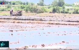 Ninh Thuận khôi phục sản xuất sau đợt hạn nặng nhờ có mưa