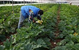 Dịch COVID-19 lan rộng trong lao động nhập cư tại Italy