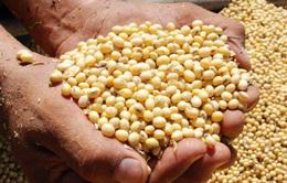 Trung Quốc mua hàng trăm nghìn tấn đậu nành của Mỹ