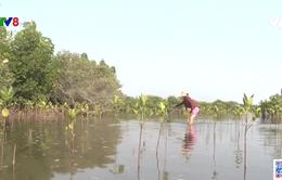 Quảng Nam nỗ lực phục hồi rừng ngập mặn