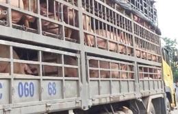 Kiểm soát lợn tại cửa khẩu: Nhiều bất thường và khuất tất