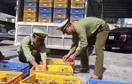 Bắt giữ 14.000 con gà nhập lậu từ Trung Quốc về Việt Nam
