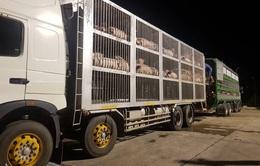 Nhập khẩu thêm gần 2.500 con lợn từ Thái Lan về Việt Nam