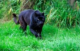 Thực hư thông tin 2 con báo đen 100kg xuất hiện gần nhà dân