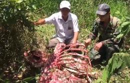 Bò tót nặng 2 tạ bị lâm tặc hạ sát dã man trong Vườn quốc gia Cát Tiên