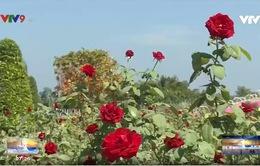 Đồng Tháp: Hấp dẫn cánh đồng hoa hồng Sa Đéc