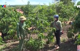 Gia Lai: Nhiều diện tích cây trồng bị khô hạn