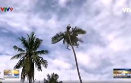Nghề chênh vênh ở xứ dừa Bến Tre