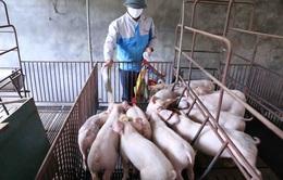 Cuối năm nay, tổng đàn lợn sẽ tương đương trước khi có dịch