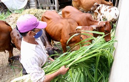 Cấm chăn nuôi gia súc, gia cầm trong nội thành Hà Nội