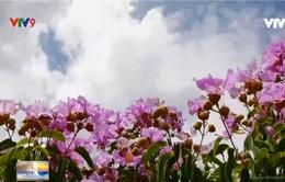 Đồi tím hoa bằng lăng