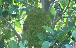 Gia Lai: Hiệu quả chuyển đổi mía sang trồng cây ăn quả